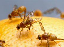 Woher kommen Fruchtfliegen und wie wird man sie wieder los?