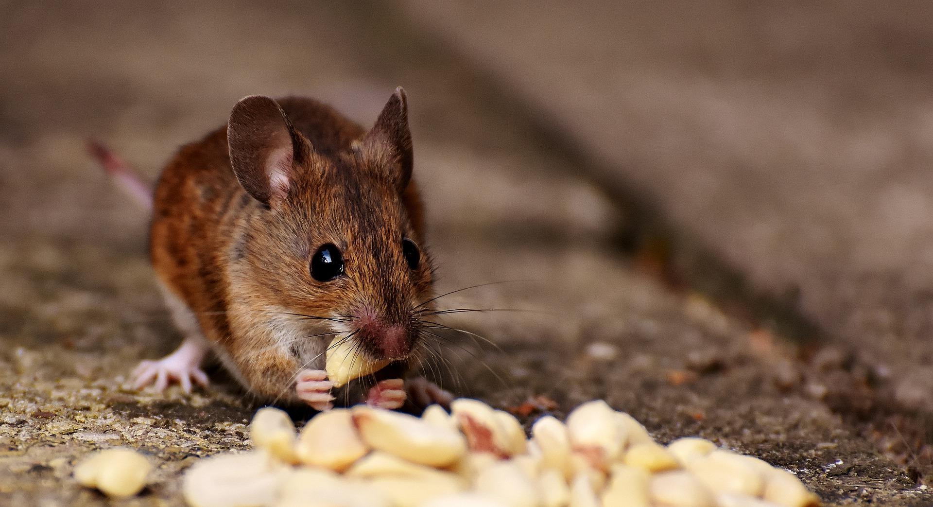Mäuseköder, Haus abdichten & Co: Was Sie gegen Mäuse im Haus tun ...